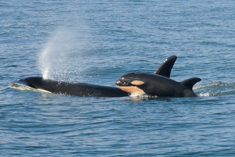 Image result for pictures of an orca and her calf