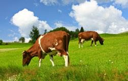 Cows grazing. Click image to expand.