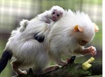 Marmoset baby clings to its father's back. Click image to expand.