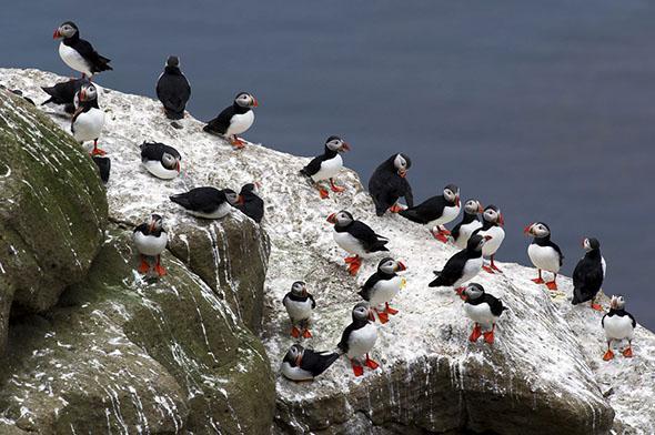 Puffins on Drangey Island.