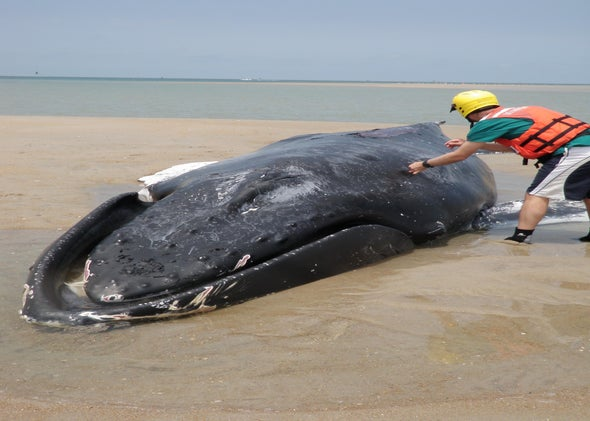 Whale live strandings: How to euthanize whales humanely