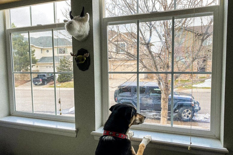 A dog looking excitedly out of a window.