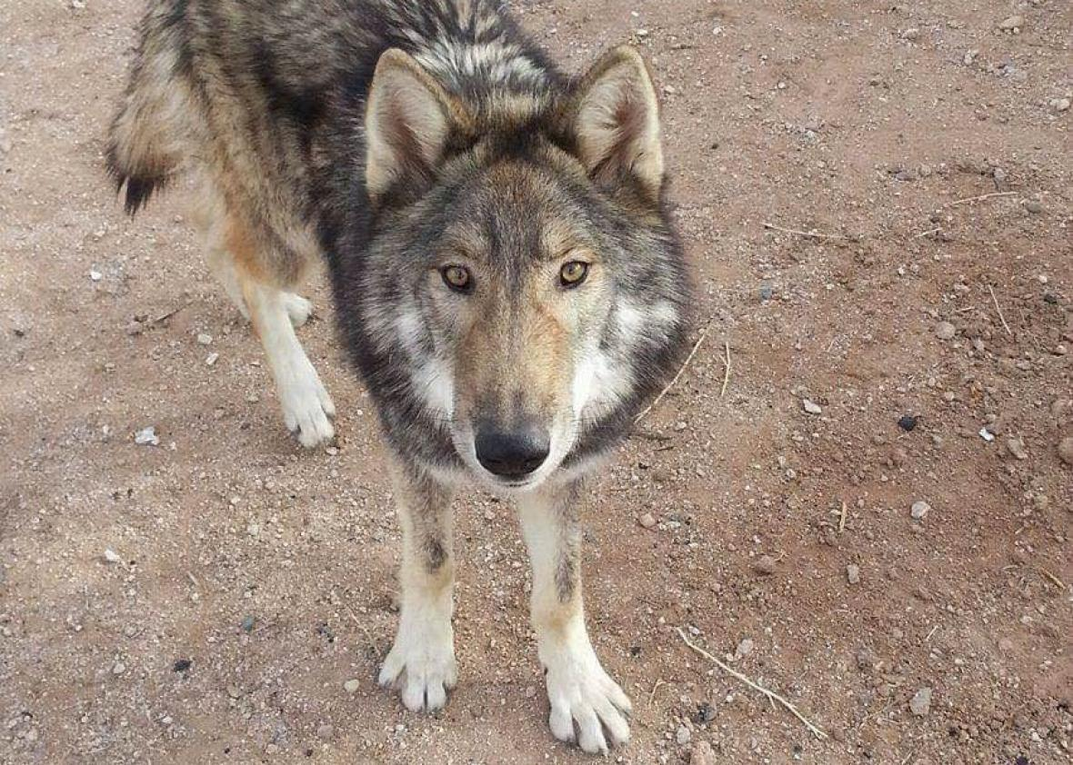 Arizona man accidentally adopted a wolf pup (VIDEO)