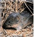 Prairie vole