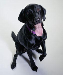 A Labrador Retriever. Click image to expand.