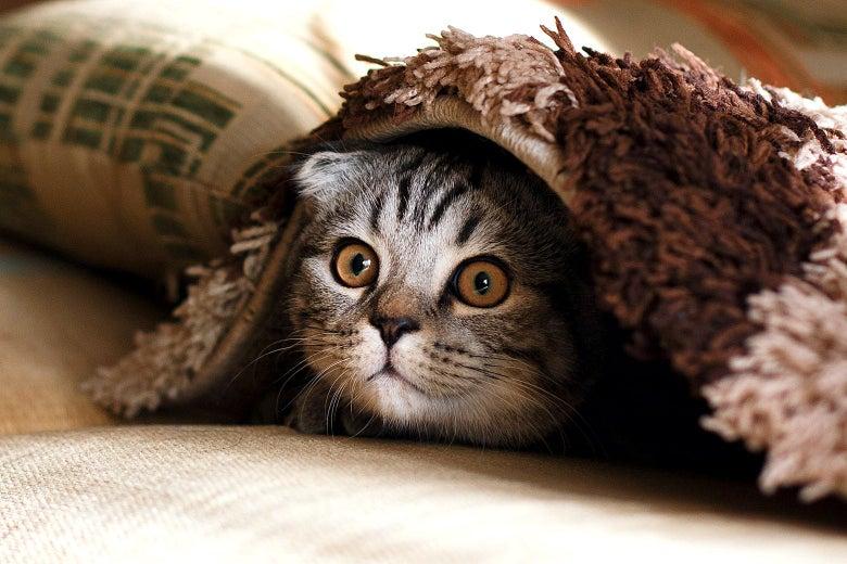 A cat hiding under a carpet.