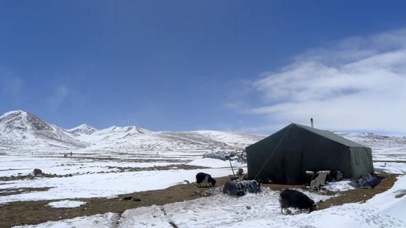 Yaks Tibet
