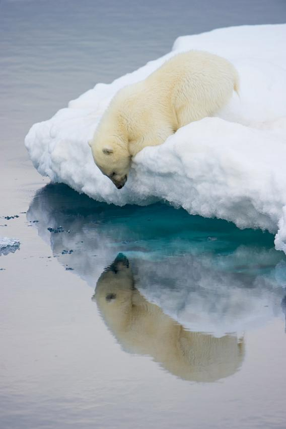 Polar bear looking into the water at the edge of the ice.