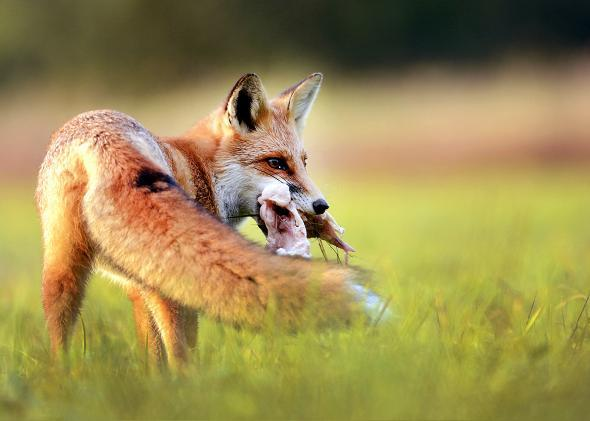 fox eating creature.