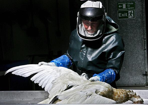 H5N1 Avian Flu