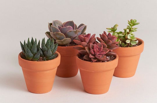 "Shop Succulents 2.5"" Terracotta Cactus Four Pack."