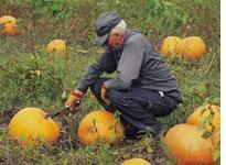 Farmer harvesting pumpkins. Click image to expand.