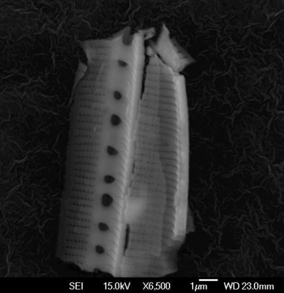 """alien"" diatom"