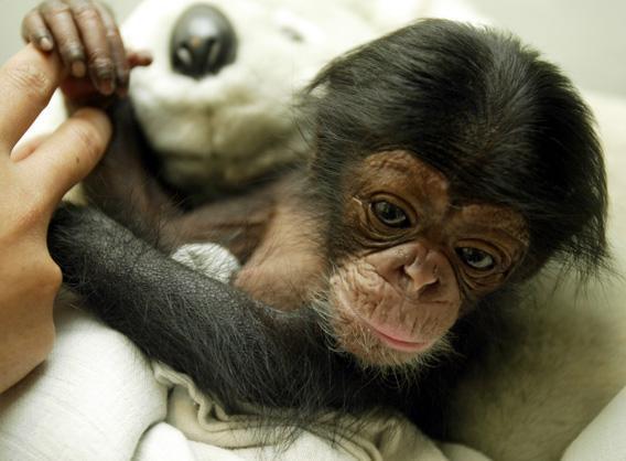 A two-week-old Chimpanzee (pan troglodytes) is seen at the animal hospital inTaman Safari Park in Cisarua, Bogor, in West Java June 4, 2004.