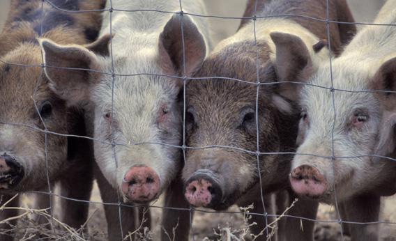 Pigs.