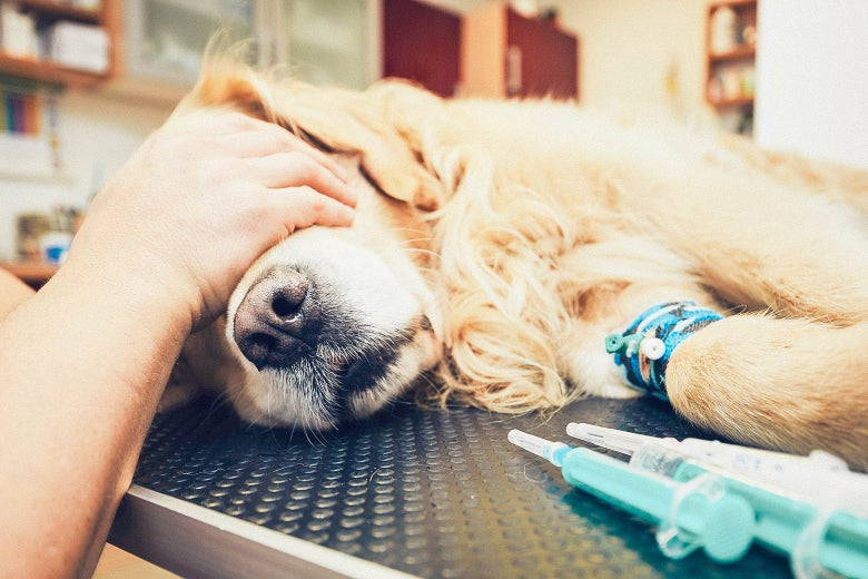 A golden retriever lays on a vet table with a person's hand over its eyes and syringes nearby