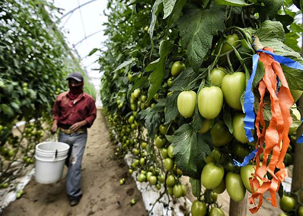 A farm day laborer works at a tomato field.