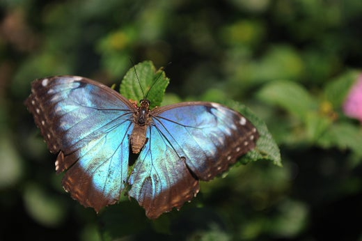 Nanotech Security Corp. uses Morpho butterflies as inspiration in anti-counterfeiting technology.