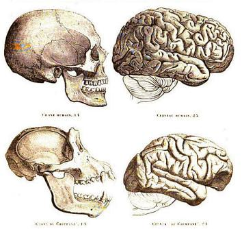 Human and chimp skulls and brains (not to scale), as illustrated in Gervais' Histoire Naturelle des Mammifères.