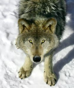 Gray wolf. Click image to expand.