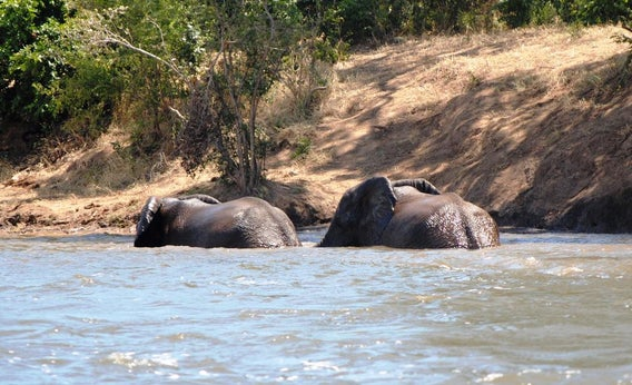 African elephants in a river.