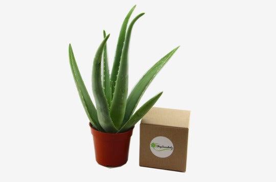 """Shop Succulents 4"""" Aloe Vera Plant."""