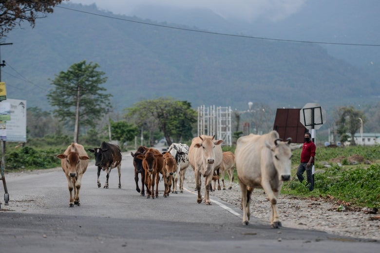 A man walks with several cows along a road.