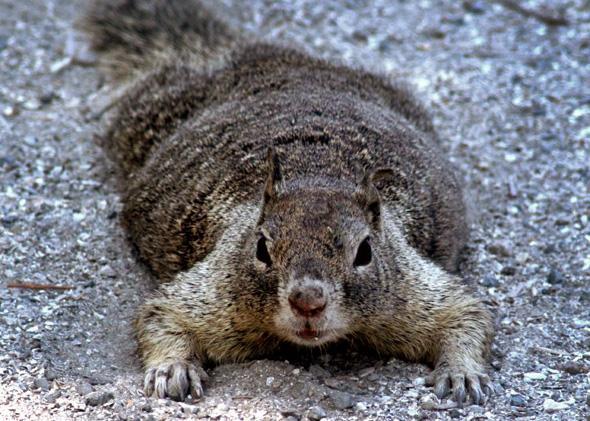 California Ground Squirrel.