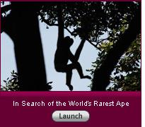 "Click to view slideshow ""In Search of the World's Rarest Ape""."