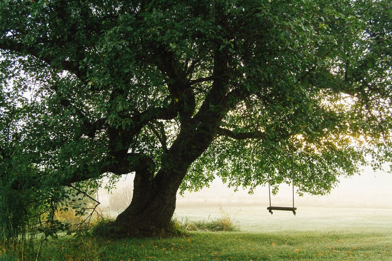 A large tree with a swing in a back yard.