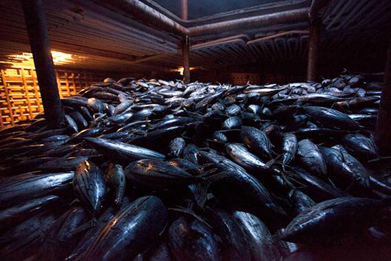 ons of frozen skipjack tuna in the hold of the Heng Xing 1.