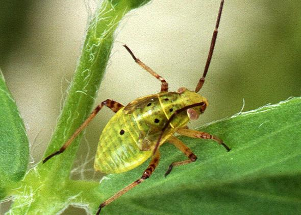Tarnished plant bug, Lygus lineolaris, is a serious pest of alfalfa being grown for seed.