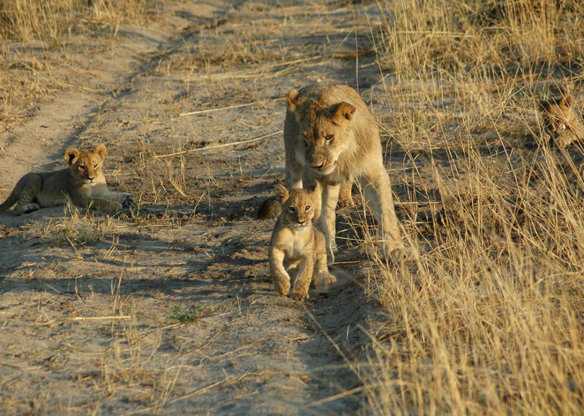 Cecil the lion's cubs, December 18, 2012. ,Cecil the lion's cubs, December 18, 2012.