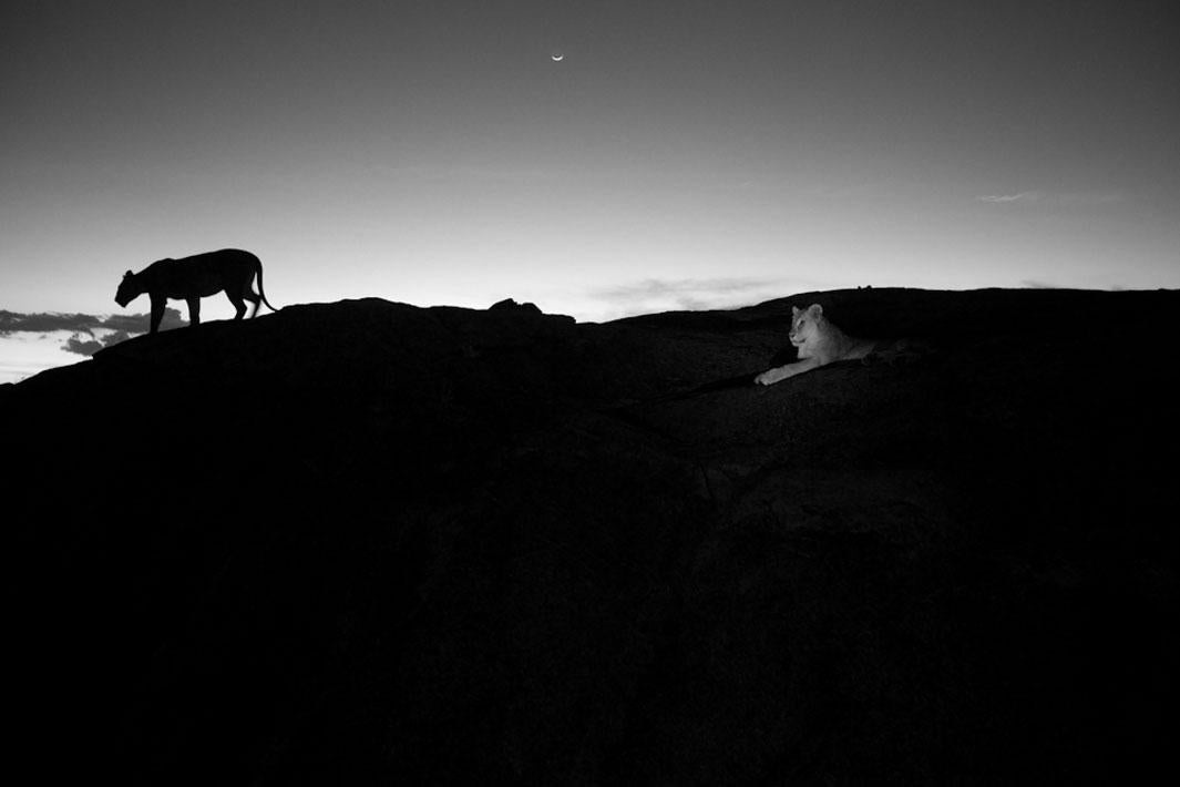 The Vumbi pride prepares for the evening hunt.  Serengeti plains lions, because they have no cover, hunt by the darkness of night.  They're very tuned in to both when the sun rises and sets and when the moon rises and sets.  Serengeti National Park, Tanzania, 2012.