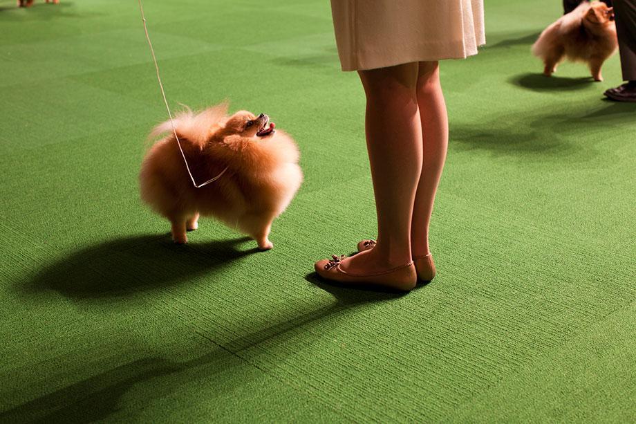 Double Pomeranian, From Best in Show 2012
