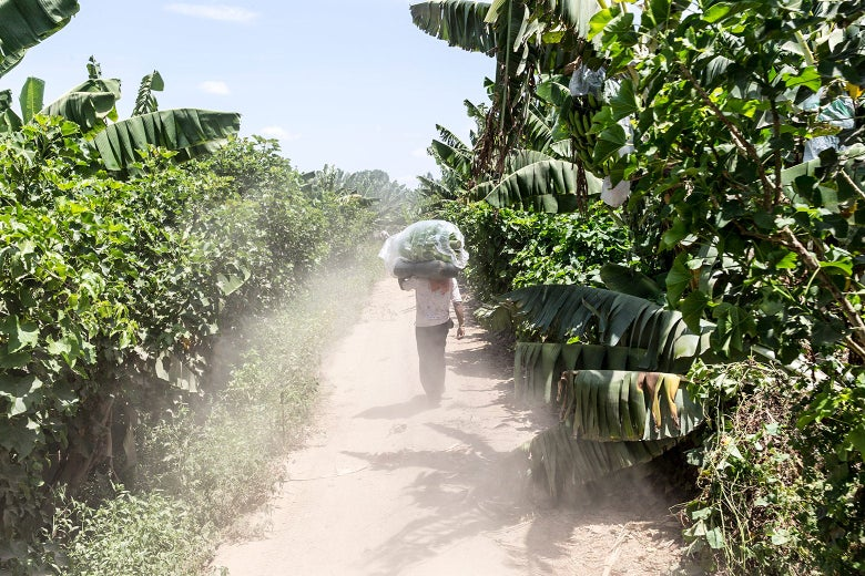 A worker carrying a big banana plant on his shoulder while walking along a farm track
