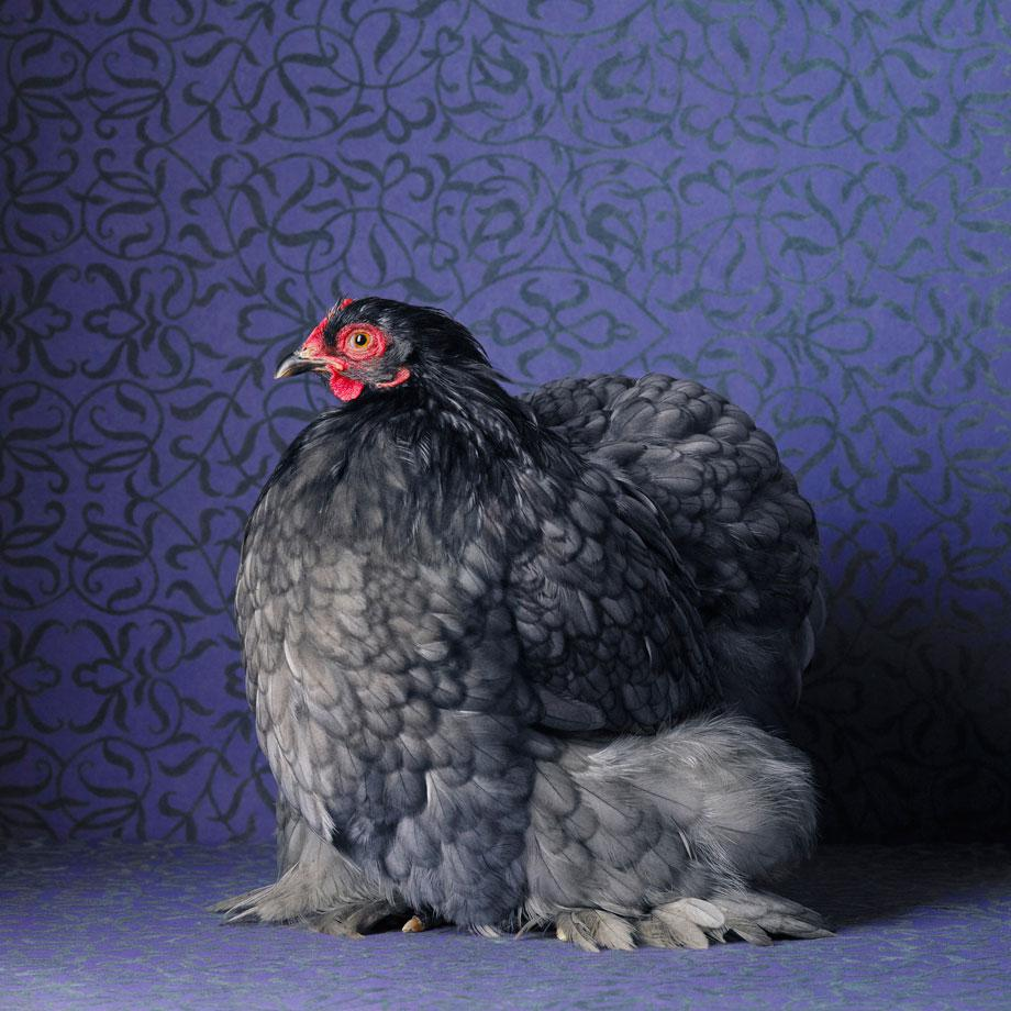 Tamara Staples The Magnificent Chicken Blue Cochin Bantam Pullet.,Tamara Staples The Magnificant Chicken Blue Cochin Bantam Pullet.