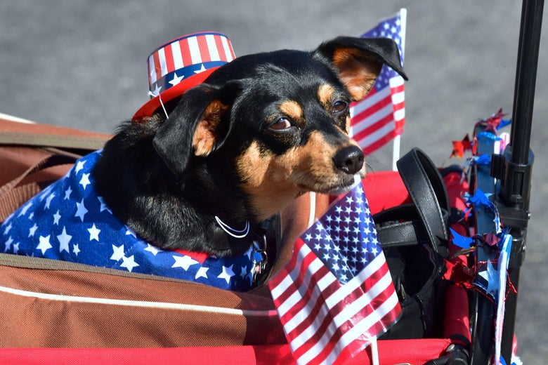 A Dachshund Terrier, wrapped in American flags for a parade.