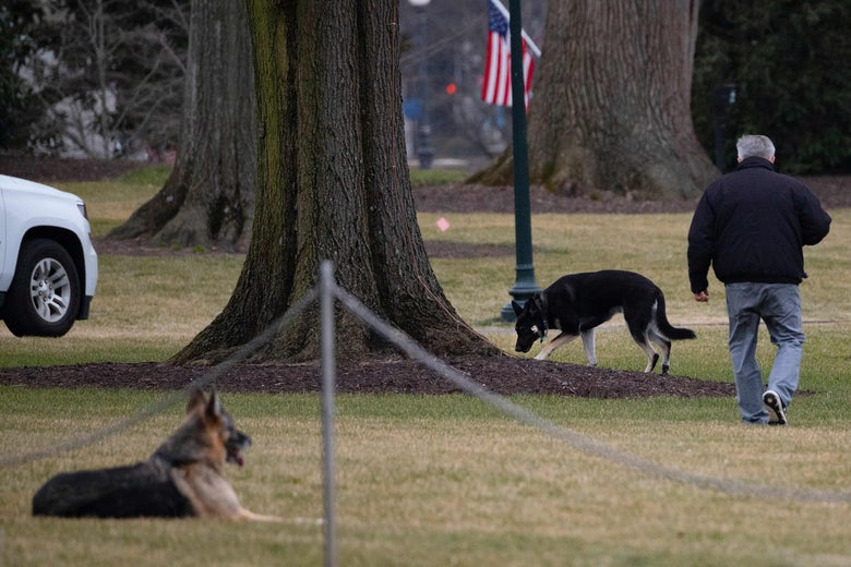 First dogs Champ and Major are seen on the South Lawn of the White House in Washington, D.C. on Jan. 25, 2021.