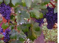 Grapes on the vine at Cheval Blanc. Click image to expand.