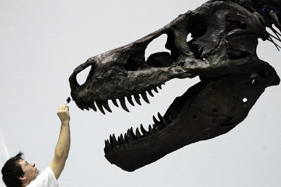 Dinosaur Sue, the largest intact Tyrannosaurus Rex specimen yet discovered, is prepared for display at the Dinosaur Expo at the National Science Museum in Tokyo, Japan, March 14, 2005.