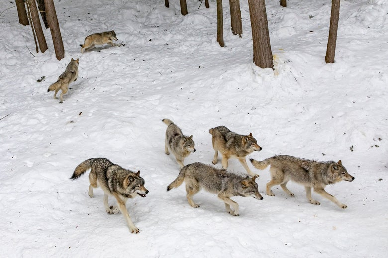 Five wolves walk in a snow-covered woods while two straggle behind.