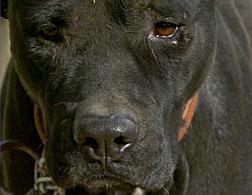 A pitbull.