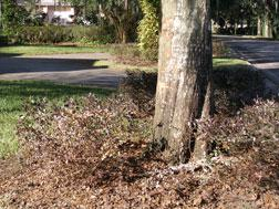 Tree hit by Tiger Woods' car. Click image to expand.