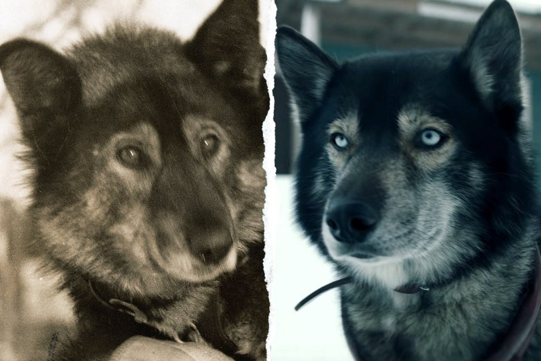 Diptych of the real Togo and Diesel the dog playing Togo.