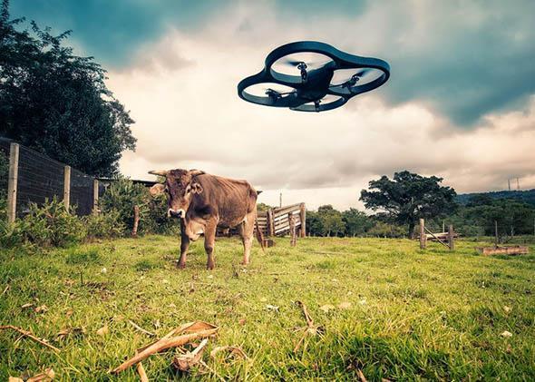 Drone vs Cow.