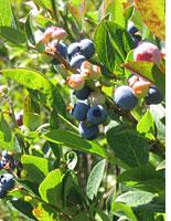 The near-miraculous blueberry         Click image to expand.