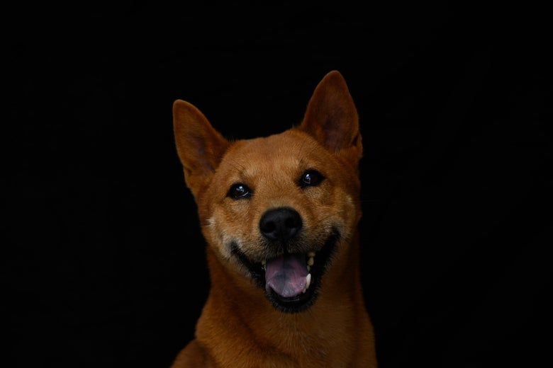 A Shiba Inu smiling broadly with its mouth open