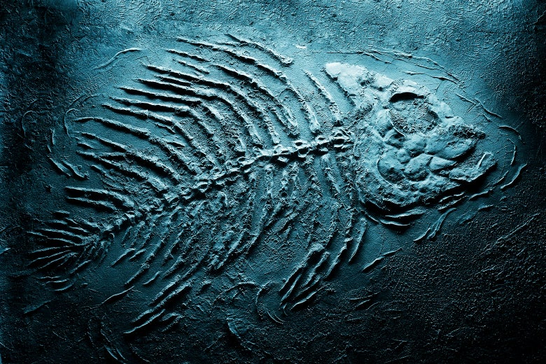 A fossilized fish