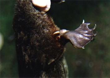 Spur on male platypus